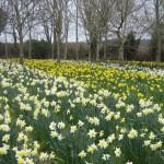 Daffodils flourish in the spring