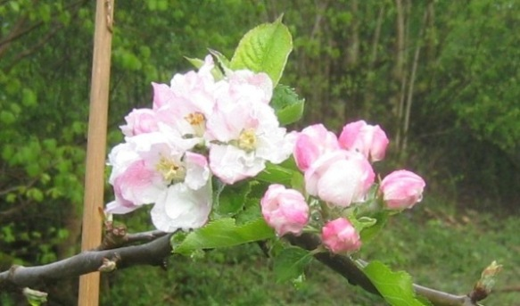 Plympton Pippin apple blossom in the orchard area