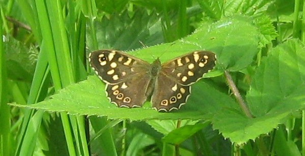 A Speckled Wood, pictured in one of the meadows