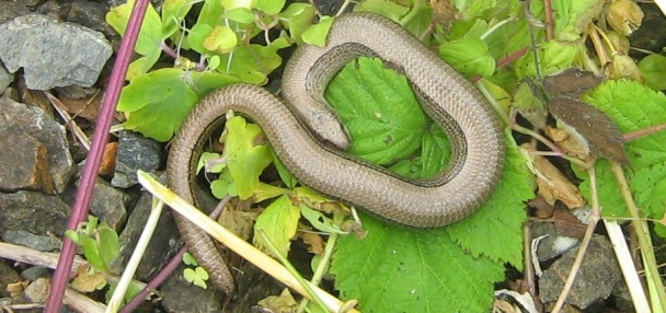Slow worm, this time taken by me!