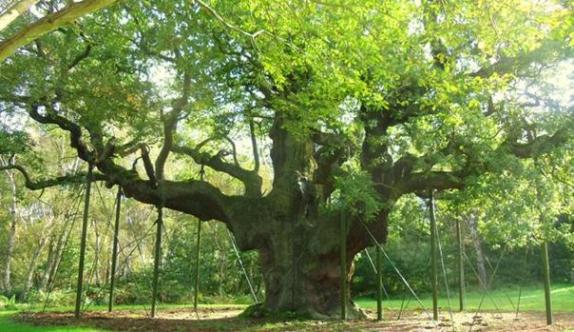 Major Oak at Sherwood Forest. Copyright Steven Ruffles, Geographica British Isles.