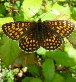 Heath Fritillary benefits from active coppicing