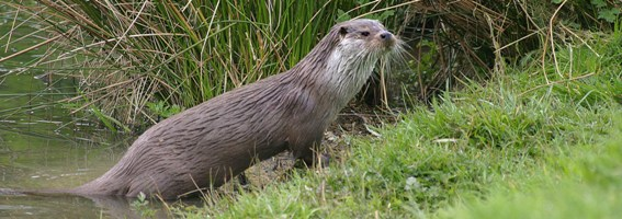 Otters use the river (Photo by Wildstock)