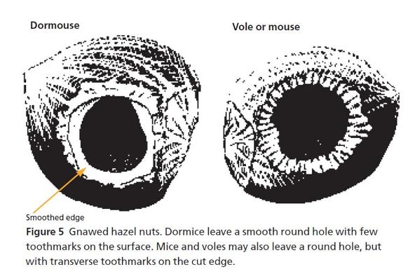 Chewed nuts (From Dormouse Conservation Handbook, Natural England)