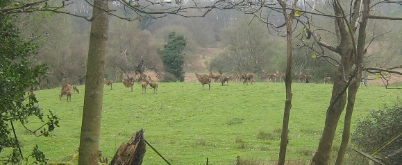 Red deer at Alfoxton