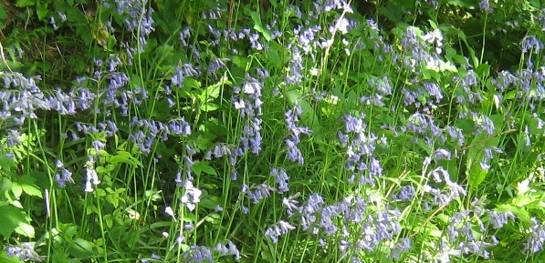 Bluebells in woodland groundflora
