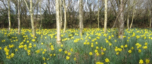 Treragin Wood daffodils