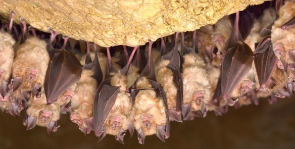 Greater Horseshoe Bats © Can Stock Photo, remus20