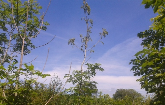 Ash dieback in south Devon