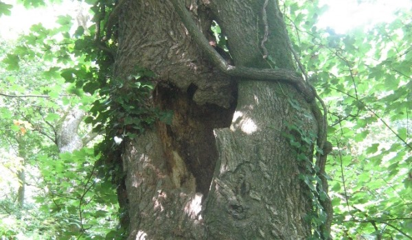 Bats love hollows and cracks in old tree trunks