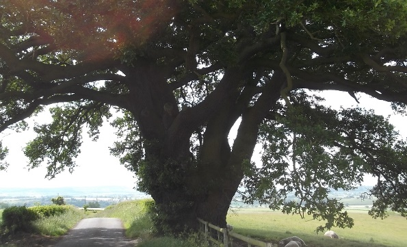The Drayton oak, Shropshire, with a 9 metre girth.  Photographed on an ecological survey of the Raby Estate.