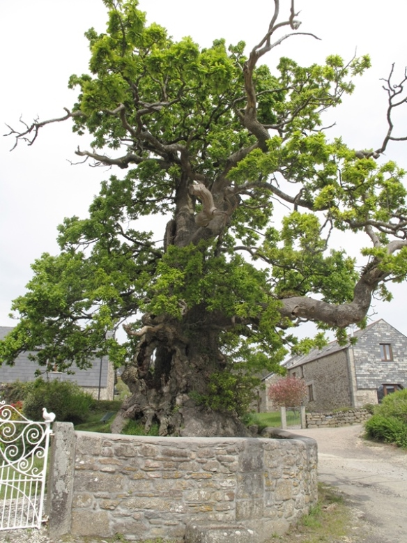 The Darley Oak