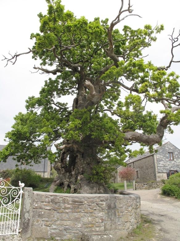 The Darley Oak